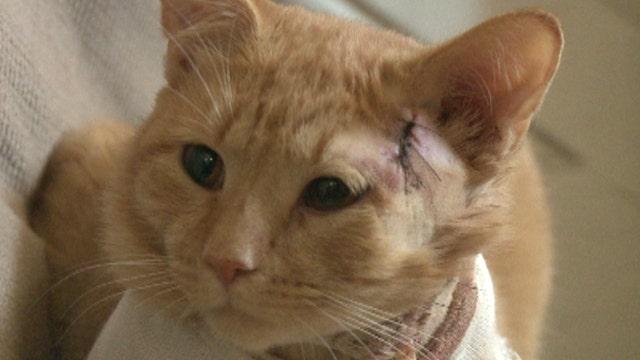 Hero cat takes bullet, saves kid