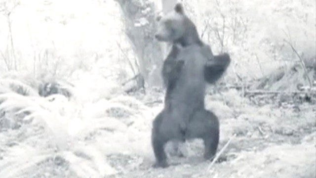 Bear falls in the forest: clumsy or drunk?