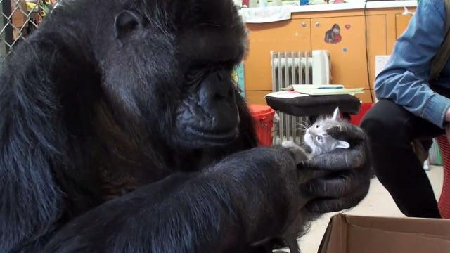 Koko the gorilla cuddles with two adorable kittens