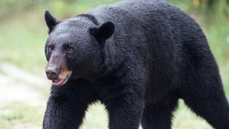 It's man versus bear in Florida this weekend.