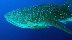 Whale sharks have caught the attention of medical researchers who are now studying the genome of the world's largest fish.