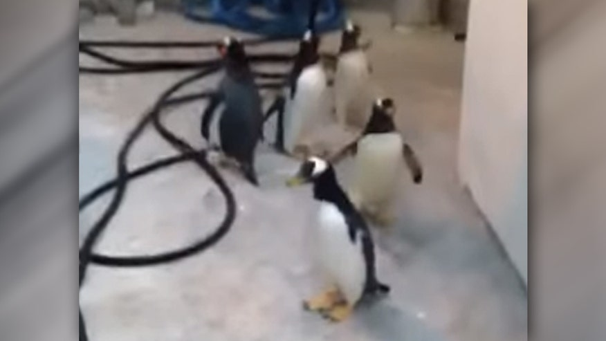 Raw video: Trail of wet flipper prints foils jailbreak from the Odense Zoo in Denmark