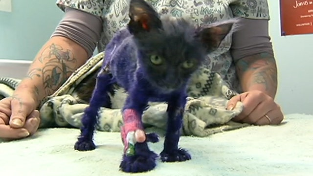 Kitten who was dyed purple and used as chew toy has emergency surgery