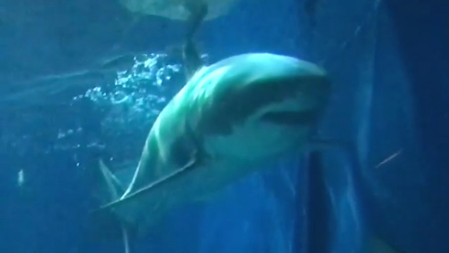 Okinawa Churaumi Aquarium says the 11.5-foot shark died three days after exhibit opened