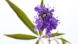 Q&A With Dr. Manny:  I've heard the herb Vitex can help ease PMS symptoms and even help with fertility issues.  Is that true?