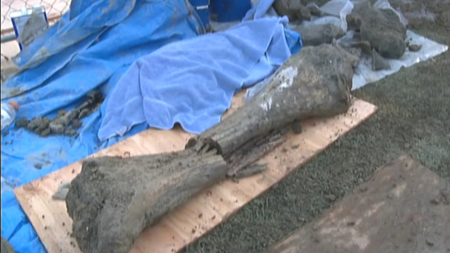 Raw video: Workers at Oregon State University unearth animal bones that date back to Ice Age