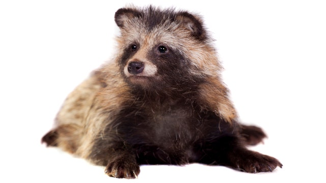 Westlake Legal Group 012716_dotcom_tanuki_1280 Someone set a trapped raccoon on fire in New Jersey, there's a reward out for information fox-news/us/us-regions/northeast/new-jersey fox news fnc/us fnc article ae21839d-5ac3-54e6-af2f-9b8b626c0fcc
