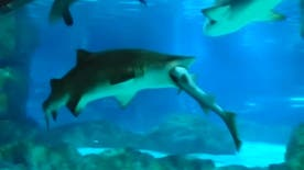 Raw video: Territorial dispute may have caused 8-year-old female sand tiger shark to attack her smaller tank mate