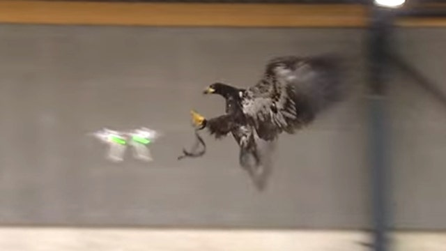 Watch a police eagle take down a drone