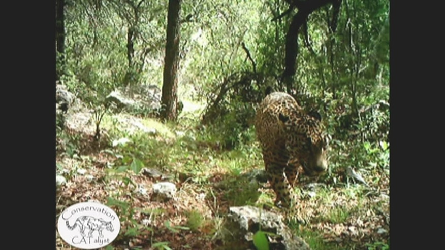 The only known wild jaguar in the U.S. is seen roaming around a creek and other parts of a mountain range in Arizona in the first publicly released video of the giant cat.
