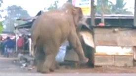 Raw video: Panicked pachyderm runs amok smashing cars, homes