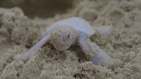 Raw video: Extremely rare albino green turtle discovered on Queensland's Castaways Beach several days after its 121 siblings vacated the nest