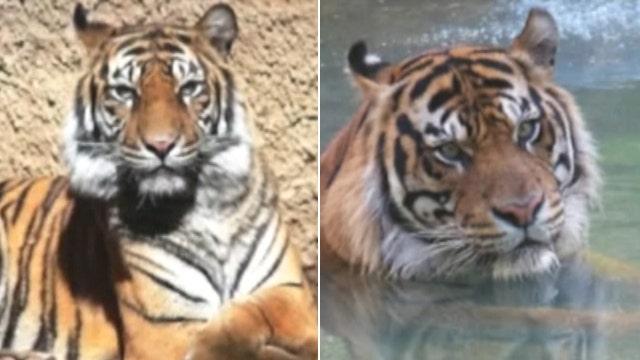 Male tiger kills mating partner at Sacramento Zoo