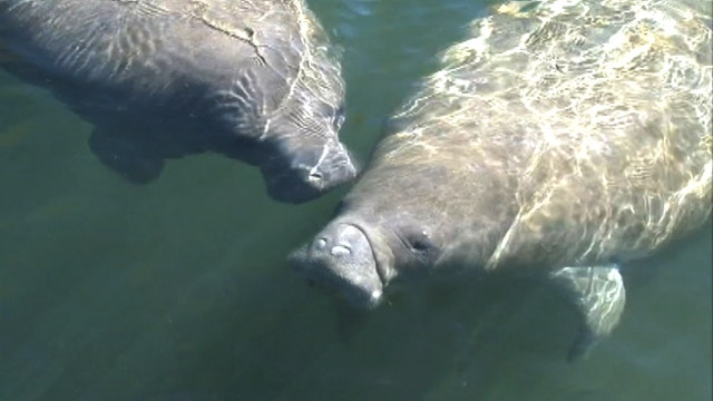 Looming federal regulations worry manatee tour operators