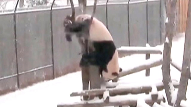 Clumsy panda falls out of tree after getting stuck