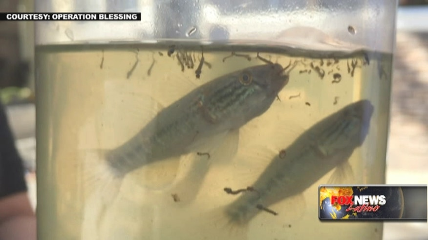 Operation Blessing is breeding mosquito-eating fish to help fight the outbreak of the Zika virus.