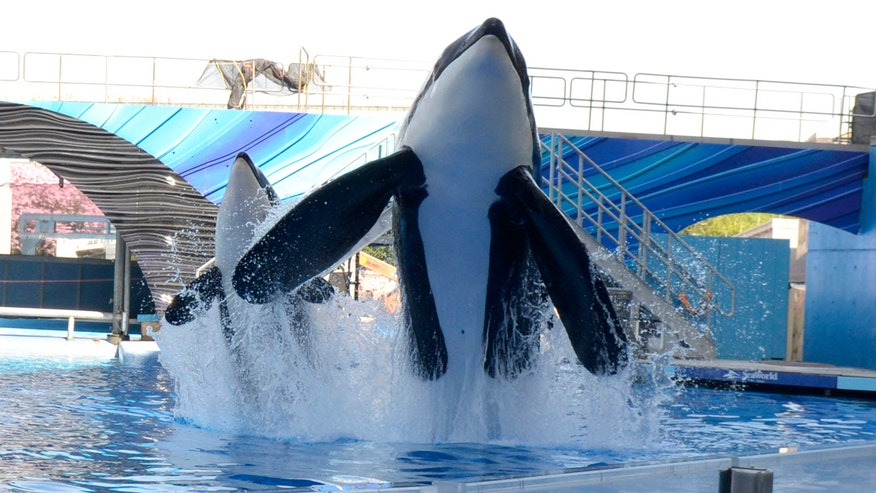 Theme park will stop breeding killer whales