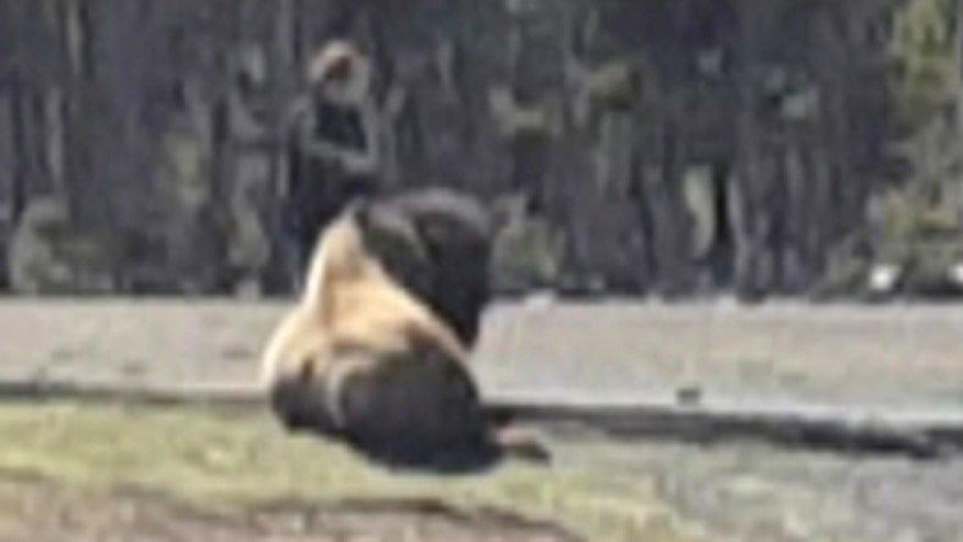Raw video: Tourist's close encounter with wild animal at Yellowstone National Park