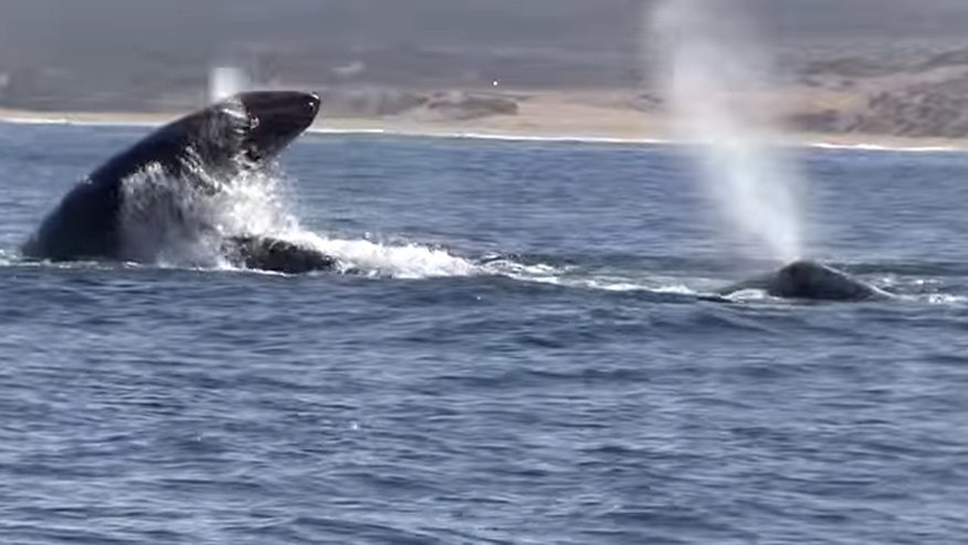 Raw video: Intense battle in Monterey Bay caught on camera