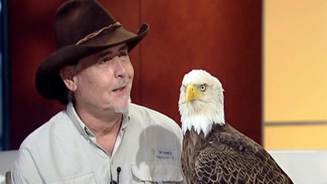 Fox Flash: Bald eagles