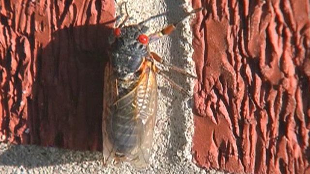 Periodical cicadas overrun family home