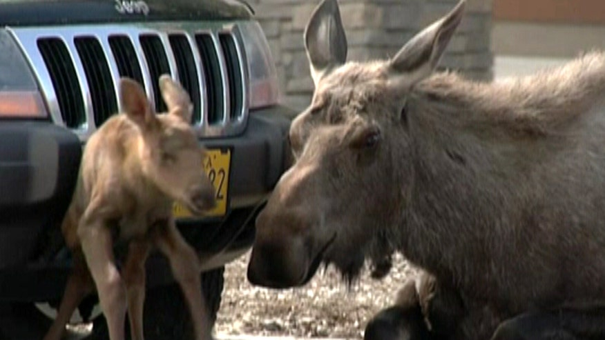 Customers at hardware store in Anchorage shocked to see moose give birth to calf