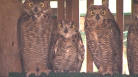 Orphaned birds raised by great horned owl set to be released into wild