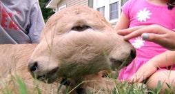 """Remarkable two faced calf, named """"Lucky,"""" born naturally on a Kentucky farm"""
