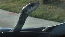 Six-foot serpent slithered across the front of his car
