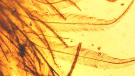 Scientists reveal the first discovered feathered dinosaur tail in amber, believed to be 99 million-years-old