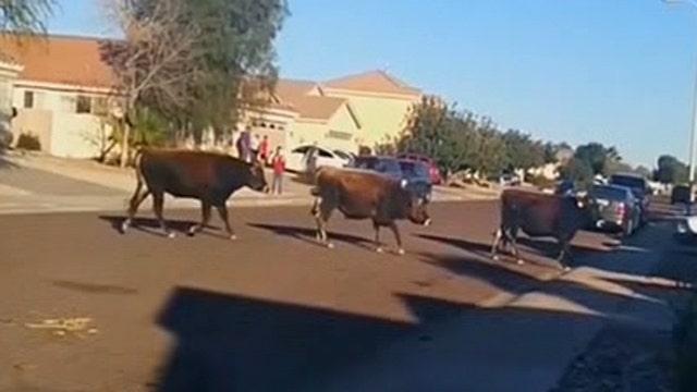 Escaped bulls caught on camera