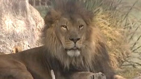 Loud roar from 7-year-old Kitambi at Phoenix Zoo caught on tape