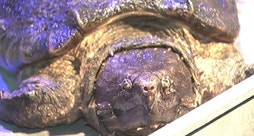 Alligator snapping turtle gets new enclosure at the Peggy Notebaert Nature Museum in Chicago