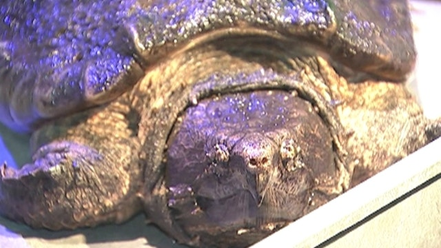 Endangered turtle gets new home