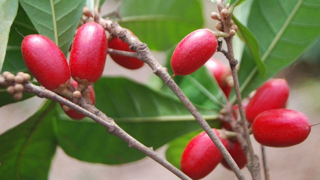 Can miracle berry change way you perceive healthy foods?