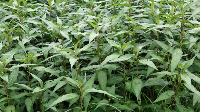 South Asian herb dubbed 'smart weed'
