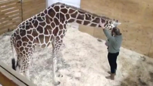 Pregnant giraffe comforted by caring zookeeper