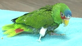 25-year-old bird gets prosthetic leg
