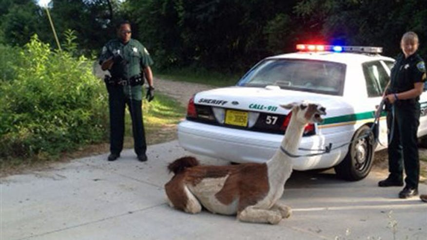 Llama busts loose in Florida, subdued with taser.