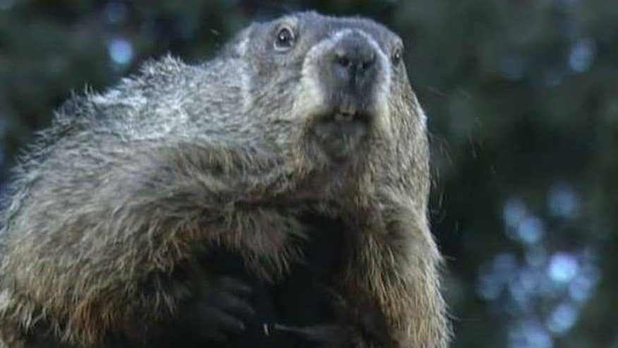 Punxsutawney Phil makes prediction