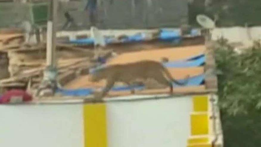 Big cat climbed over school's wall and lunged at a worker trying to capture it