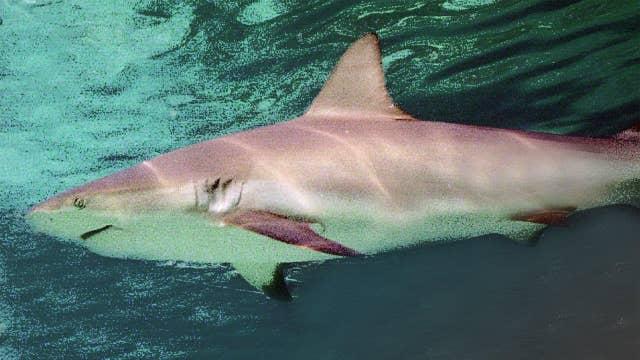 Thousands of sharks migrating off Florida coast