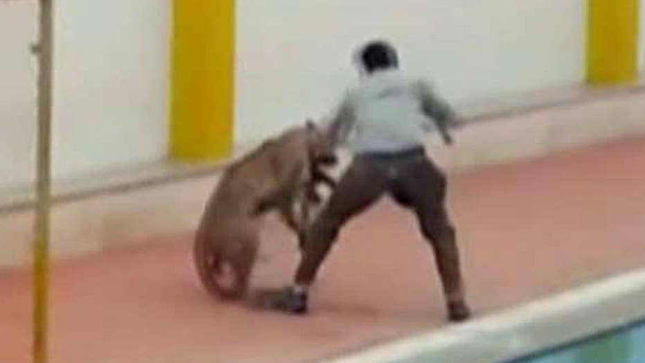 Leopard that mauled six people at school breaks out of cage