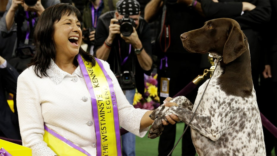 German shorthaired pointer wins annual Westminster Dog Show
