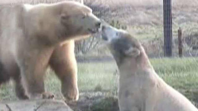 Video of two polar bears becoming instant BFFs goes viral