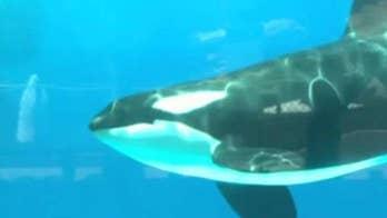 SeaWorld announces end to captive orca whale breeding