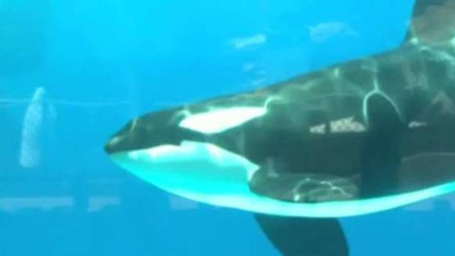 SeaWorld announces end to its captive orca breeding program