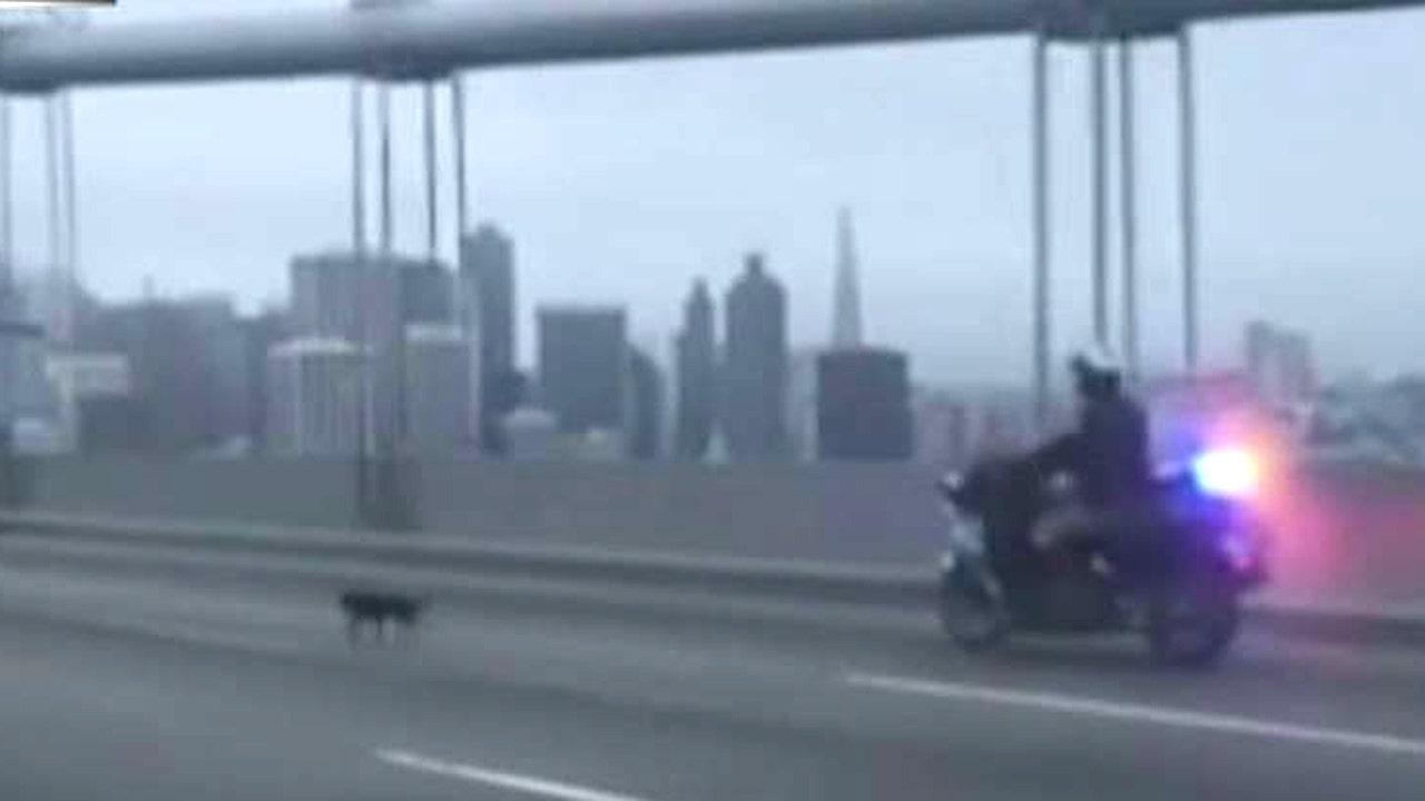 Chihuahua leads police on chase across bay bridge fox news for Bay bridge run 2016