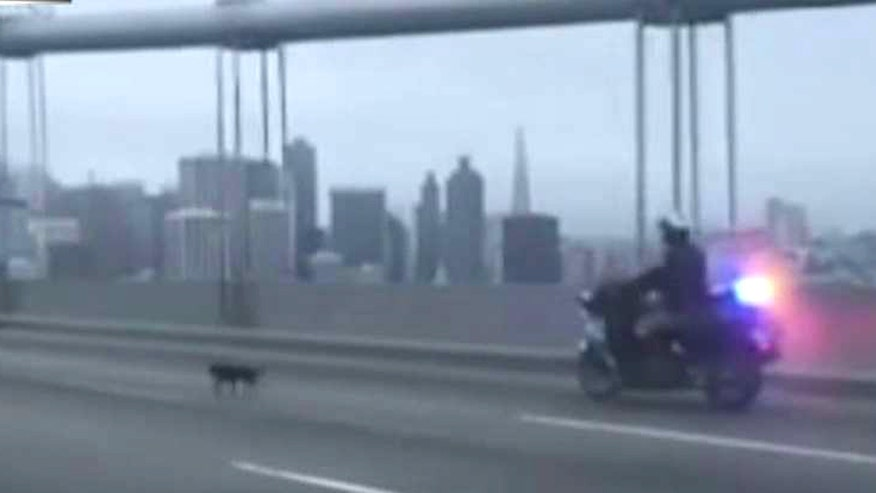 California Highway Patrol apprehend pooch on Bay Bridge in San Francisco