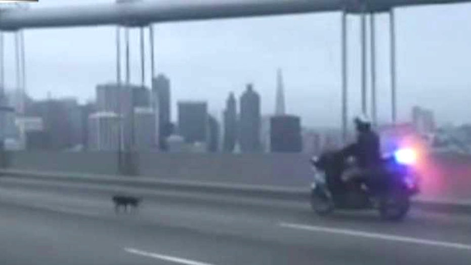 Runaway Chihuahua leads cop on wild chase, shuts down bridge